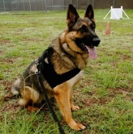 Nina K9 Military dog KIA in Afghanistan