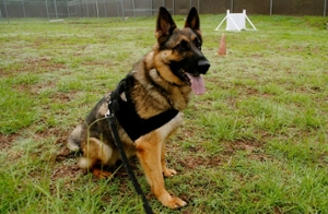 Example of a working dog SIU PD is seeking to raise funds to acquire and train